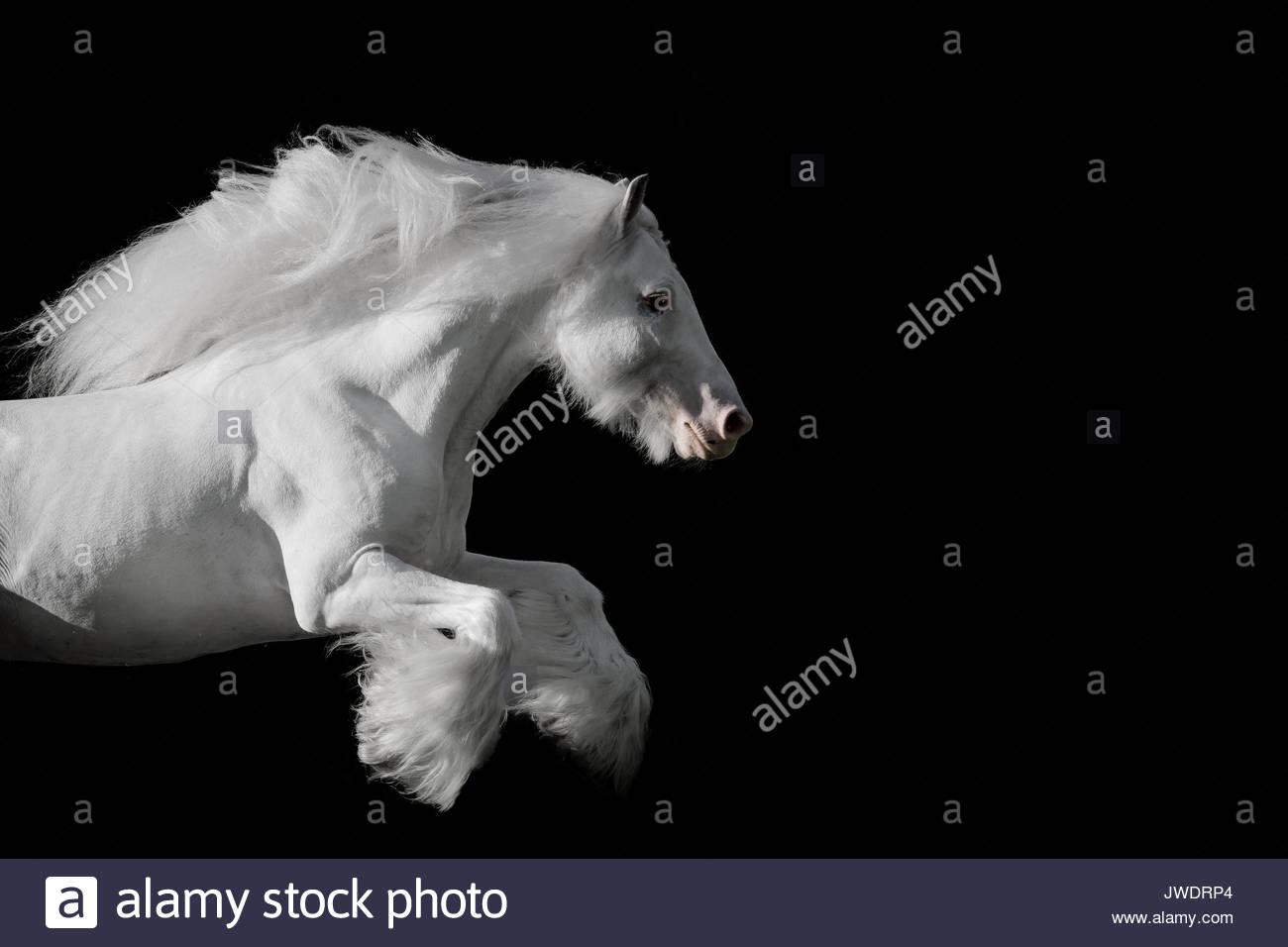 Grey Gypsy Vanner Irish Cob stallion in motion photographed in Italy. - Stock Image