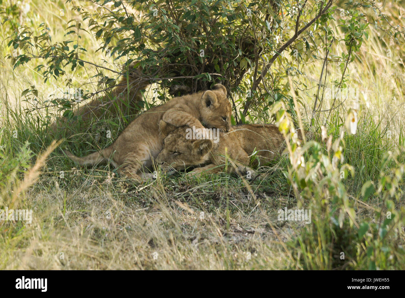 Tiny lion cub playing with sleeping older cub, Masai Mara Game Reserve, Kenya - Stock Image