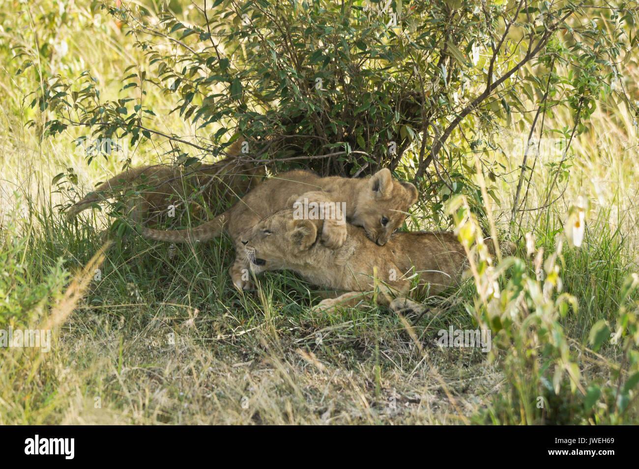 Tiny lion cub playing with older cub that was sleeping, Masai Mara Game Reserve, Kenya - Stock Image