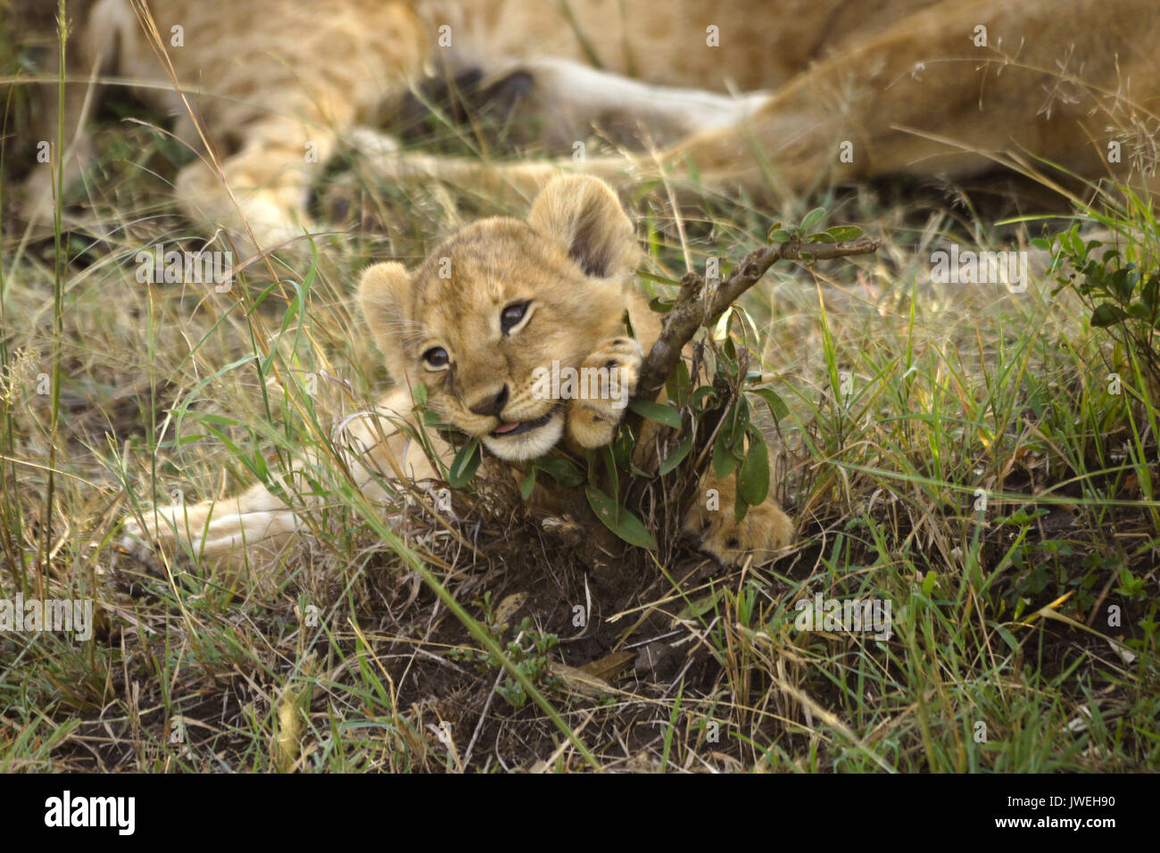 Tiny lion cub playing with twig while the rest of the pride sleeps, Masai Mara Game Reserve, Kenya - Stock Image