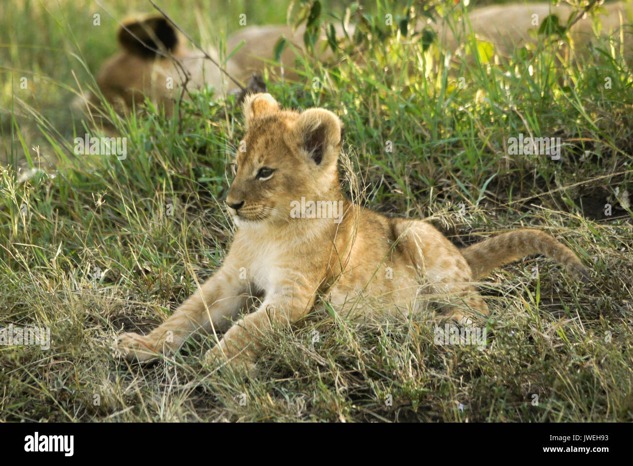 Tiny lion cub awake while the rest of the pride sleeps in the shade, Masai Mara Game Reserve, Kenya - Stock Image