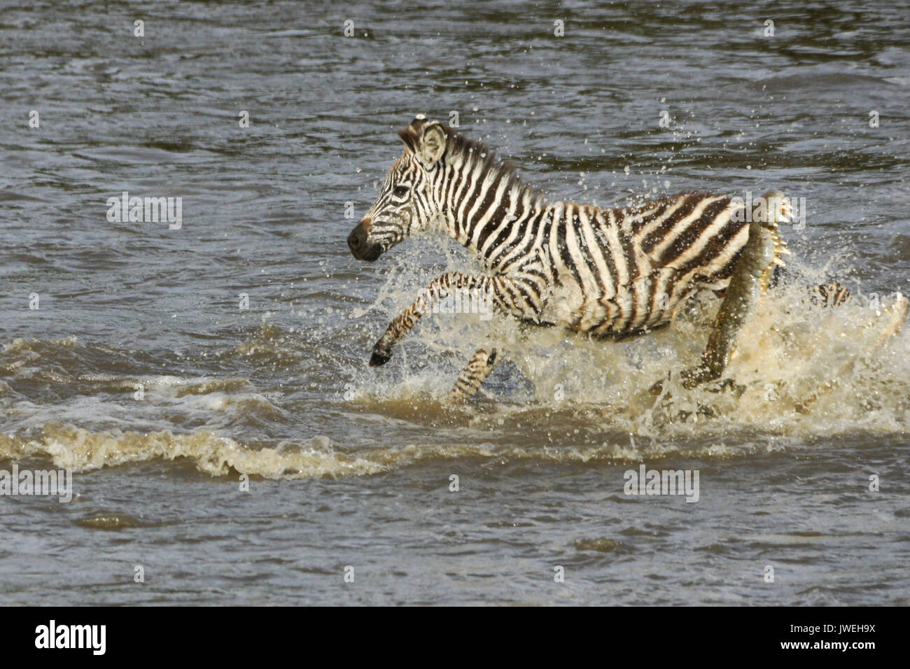 Young Burchell's (common or plains) zebra narrowly escapes while crossing crocodile-infested Mara River, Masai Mara Game Reserve, Kenya - Stock Image