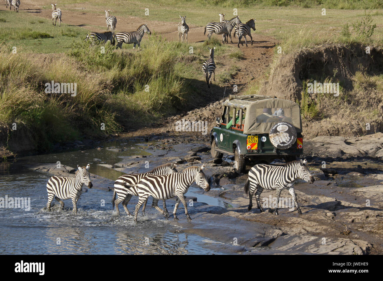 Safari vehicle crossing river where Burchell's (common or plains) zebras were drinking, Masai Mara Game Reserve, Stock Photo
