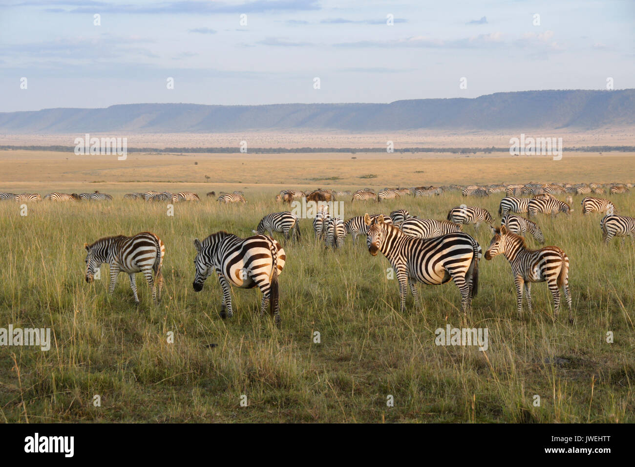 Burchell's (common or plains) zebra grazing on plain (Oloololo/Oldoinylo/Siria Escarpment in background), Masai Mara Game Reserve, Kenya - Stock Image