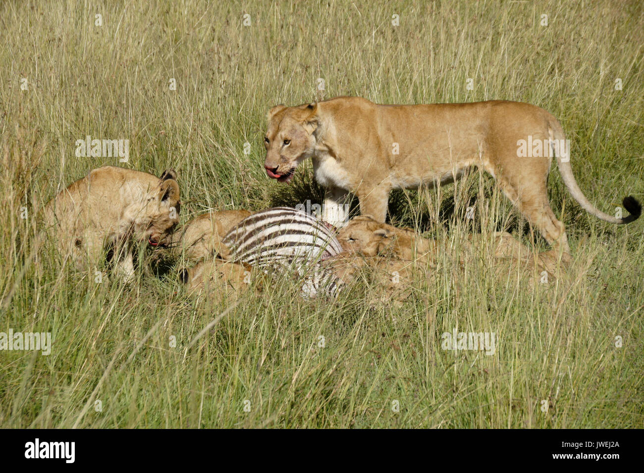 Lion pride (females and cubs) on a zebra kill, Masai Mara Game Reserve, Kenya - Stock Image