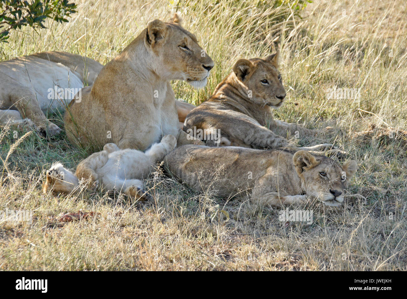 Lions resting in shade after nursing session, Masai Mara Game Reserve, Kenya - Stock Image