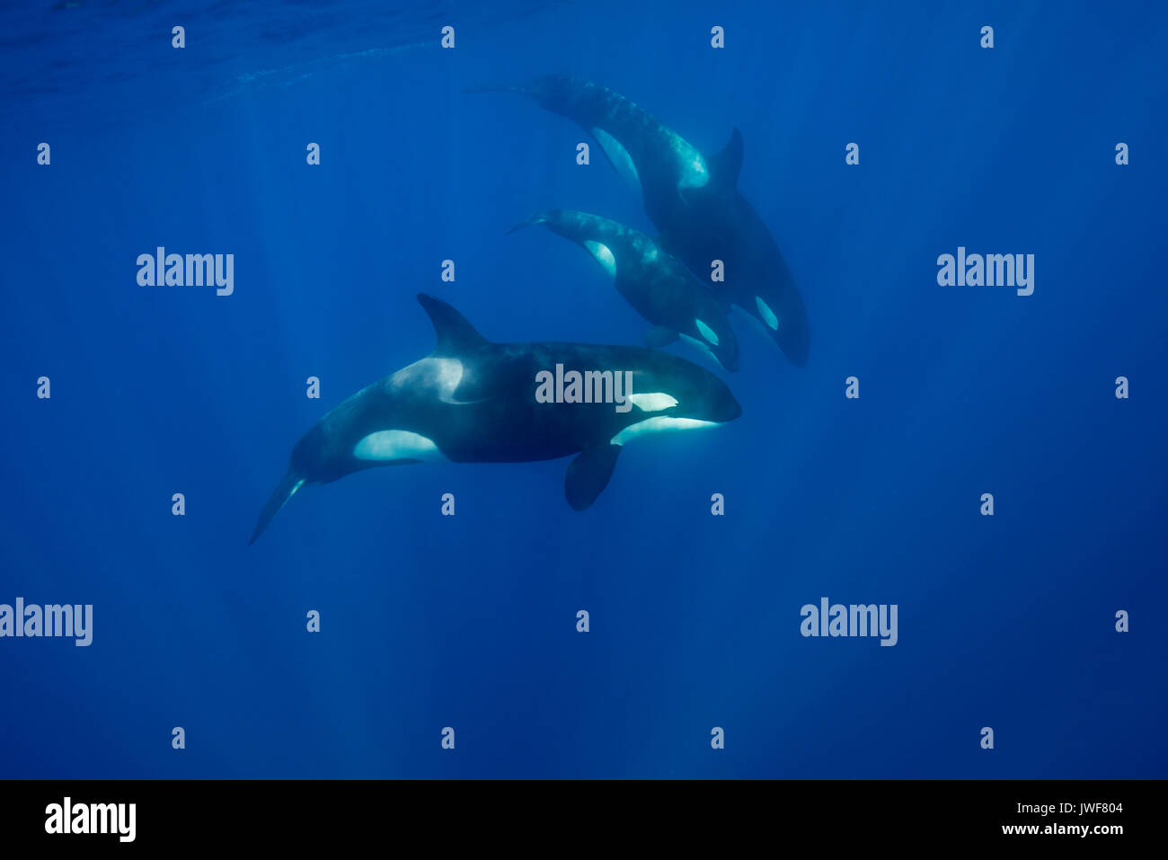 Pod of orcas swimming near the surface in blue water, North Island, New Zealand. There a small calf swimming with the pod. - Stock Image
