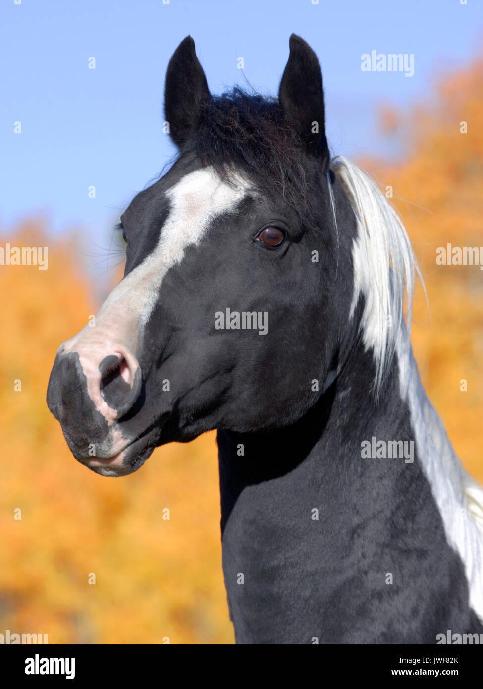 Closae up Headshot of beautiful Tobiano Pinto Stallion, against blue sky, blured tree background - Stock Image