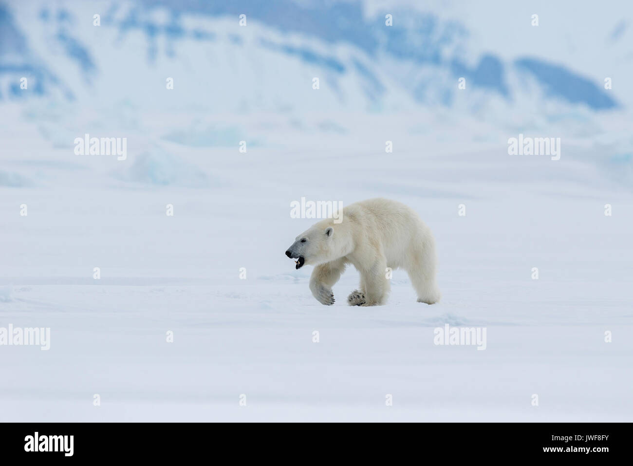 Male polar bear roaming the frozen surface of Admiralty Inlet, Northern Baffin Island, Canada. - Stock Image