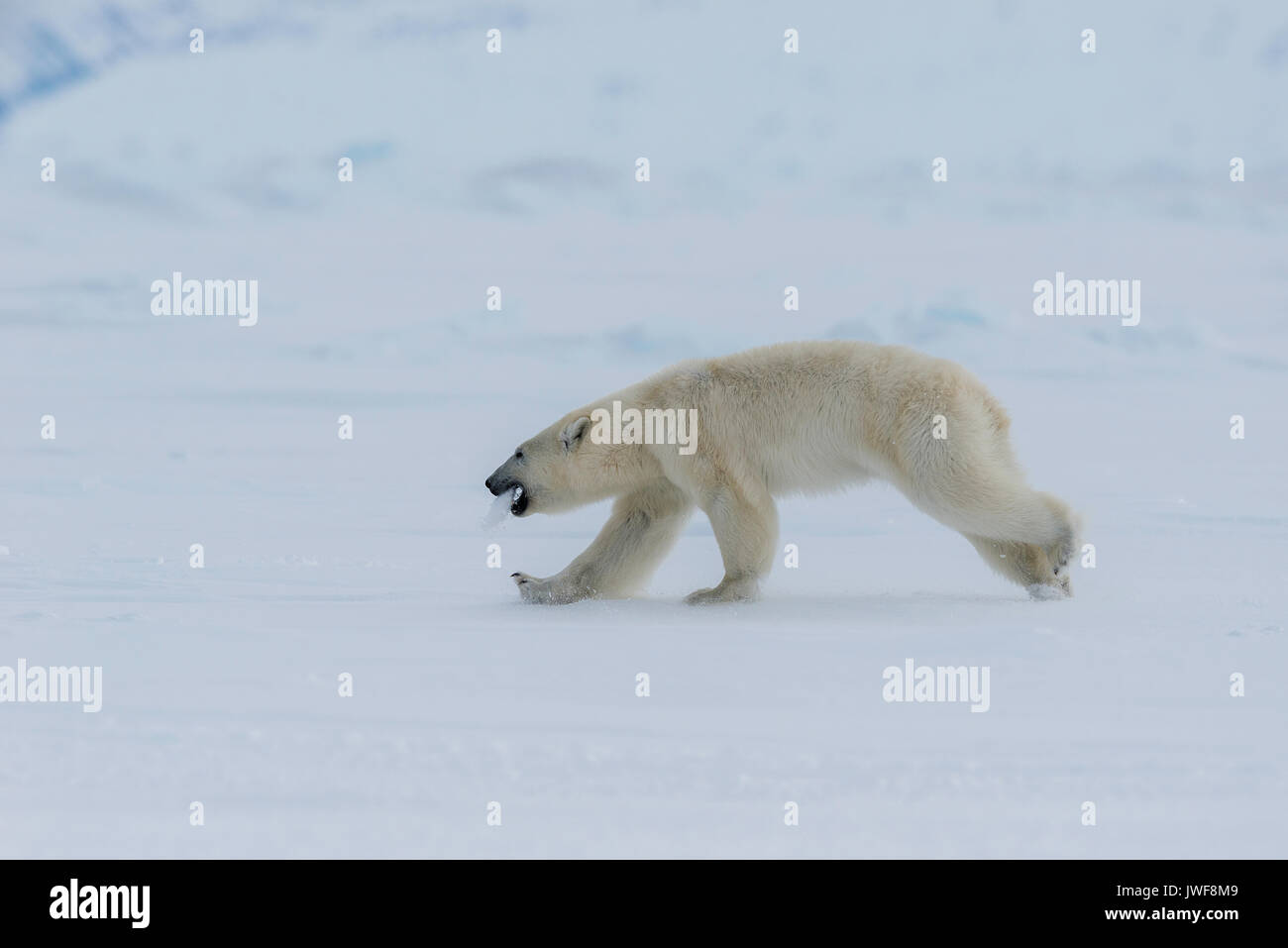 Male polar bear running along the frozen surface of Lancaster Sound, Baffin Island, Canada. Stock Photo