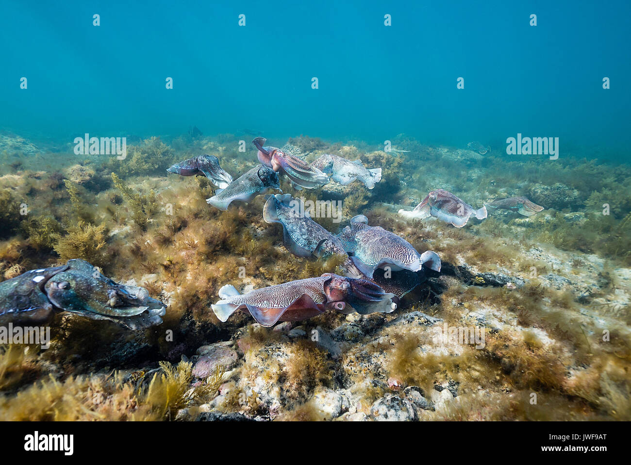Male Australian giant cuttlefish protecting his female from other males while she lays her eggs during the mating season, Whyalla, South Australia. - Stock Image