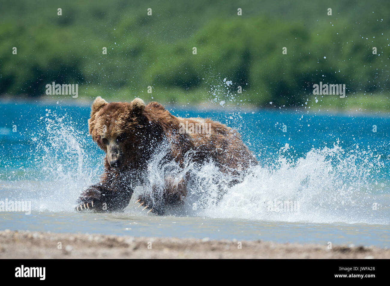 Brown bear pouncing on sockeye salmon in the rivers around Kuril Lake Kamchatka, Russia. Stock Photo