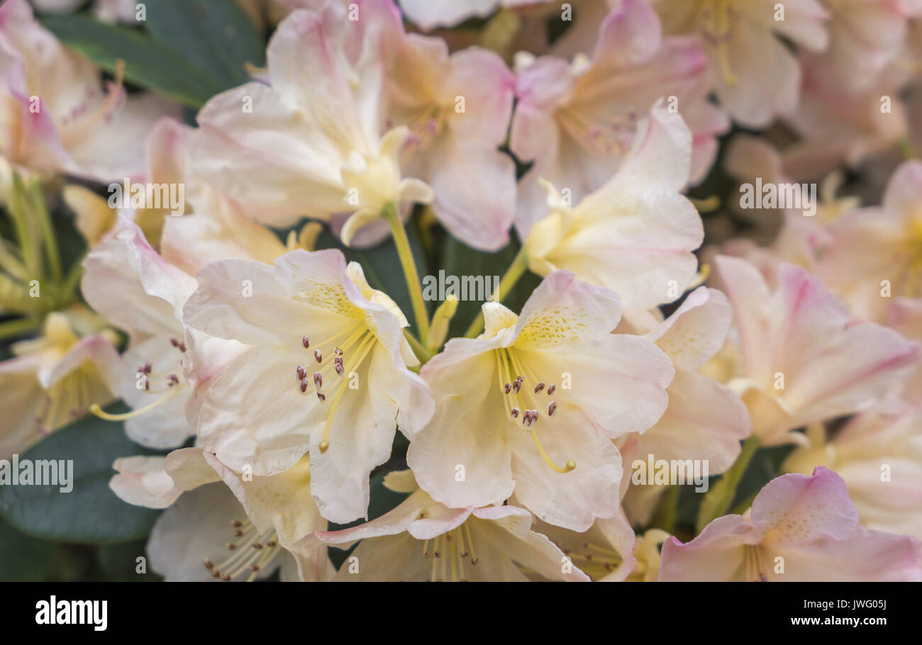 Blühende rosa Azalee (Rhododendron spec.) Bayern, Deutschland, Europa - Stock Image