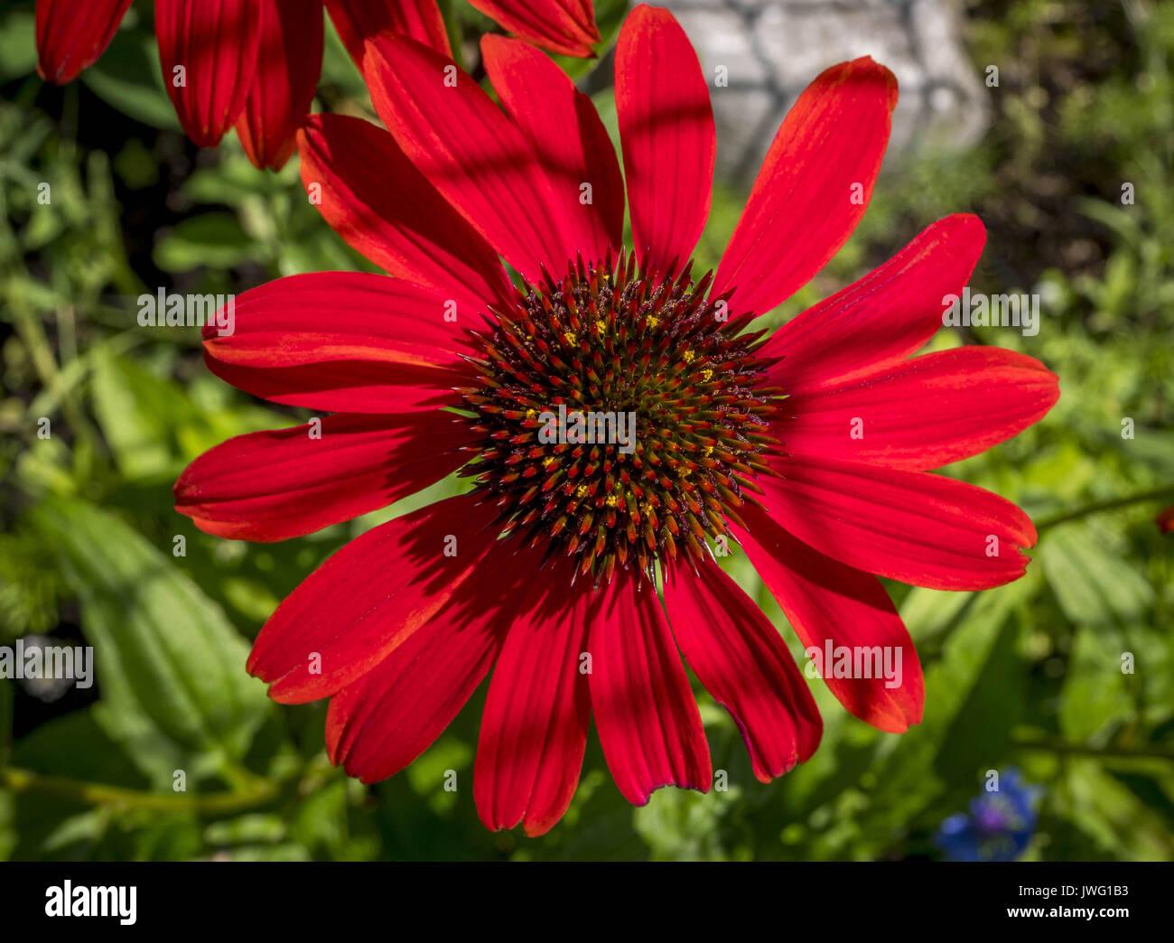 Rote Rudbeckie, Roter Sonnenhut oder Purpur-Sonnenhut (Echinacea purpurea), Bayern, Deutschland, Europa - Stock Image