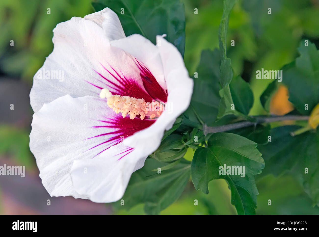 Large Hibiscus Flower With Pink White Petals And Stamens On A Stock