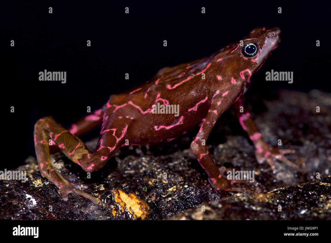Purple harlequin Toad, Atelopus spumarius barbotini - Stock Image