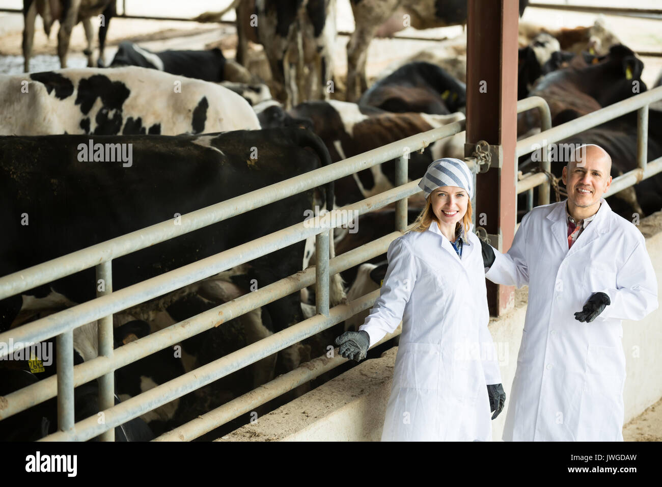Mature and young veterinary technicians standing near cows in livestock barnm Stock Photo