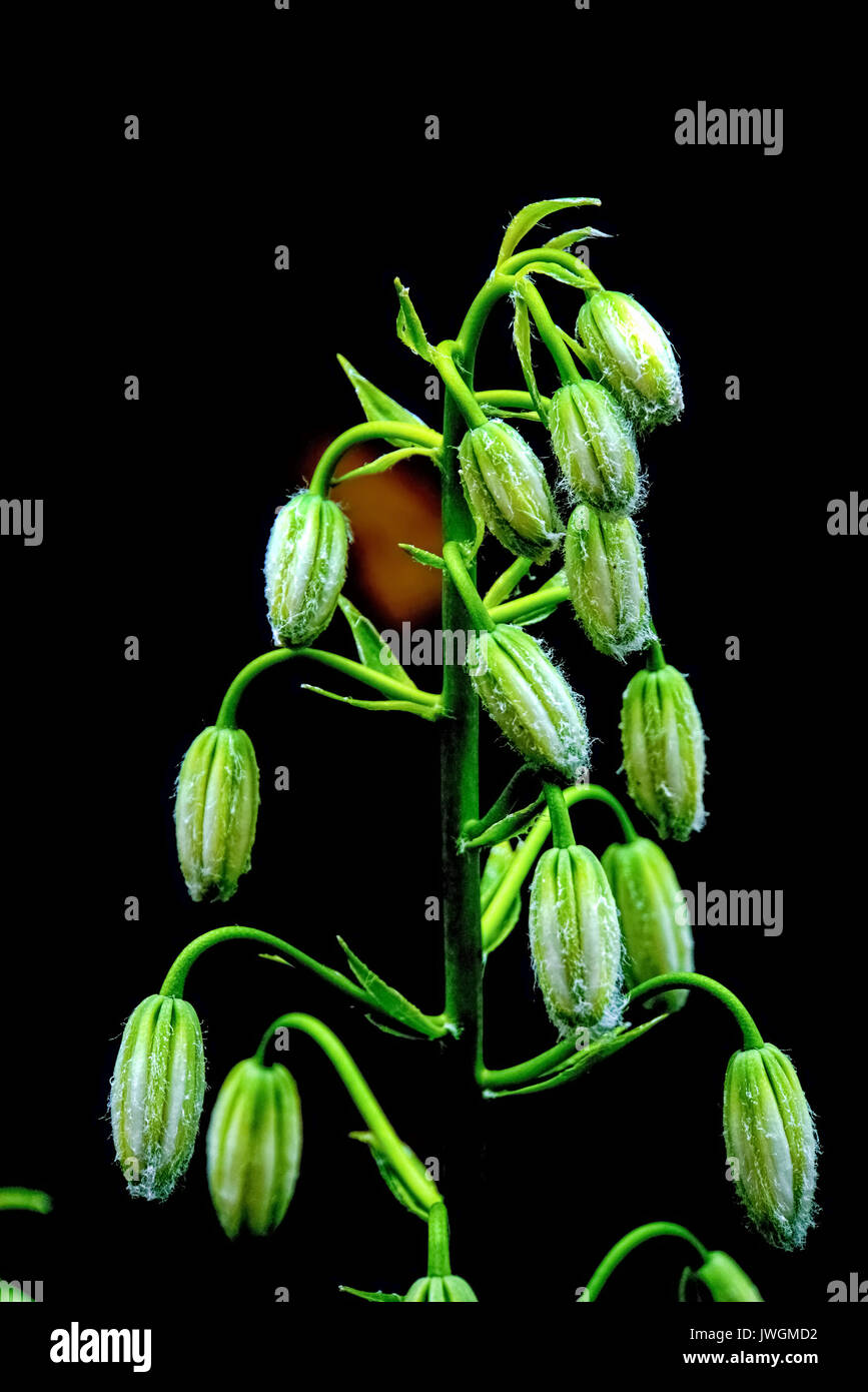 Lilium martagon var (Martagon lily or Turk´s cap). Photographed in Latvia - Stock Image
