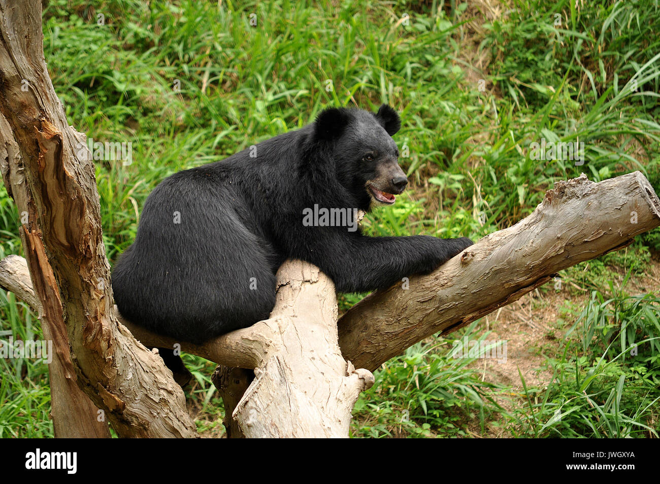 Asian black bears are reproductively compatible with several other bear species, and have on occasion produced hybrid offspring. - Stock Image