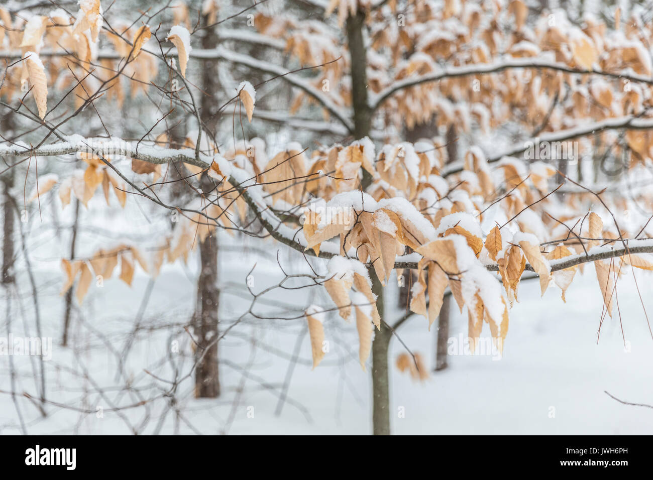 Canadian winter - Stock Image