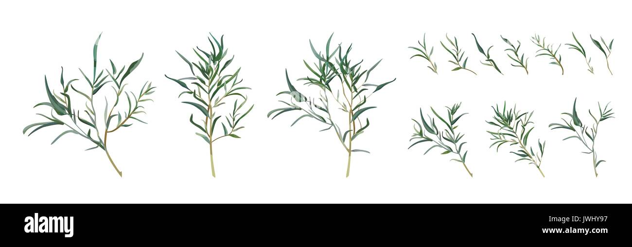 Eucalyptus Willow Tree Designer Art Different Foliage Natural Branches Leaves Tropical Elements In Watercolor Style Set Collection Vector Decorative