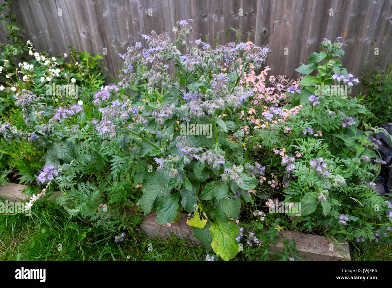 Perennial plants with small pink flowers stock photos perennial blue borage flowers in bloom and pink perennial wallflowers in a small garden with a wooden mightylinksfo