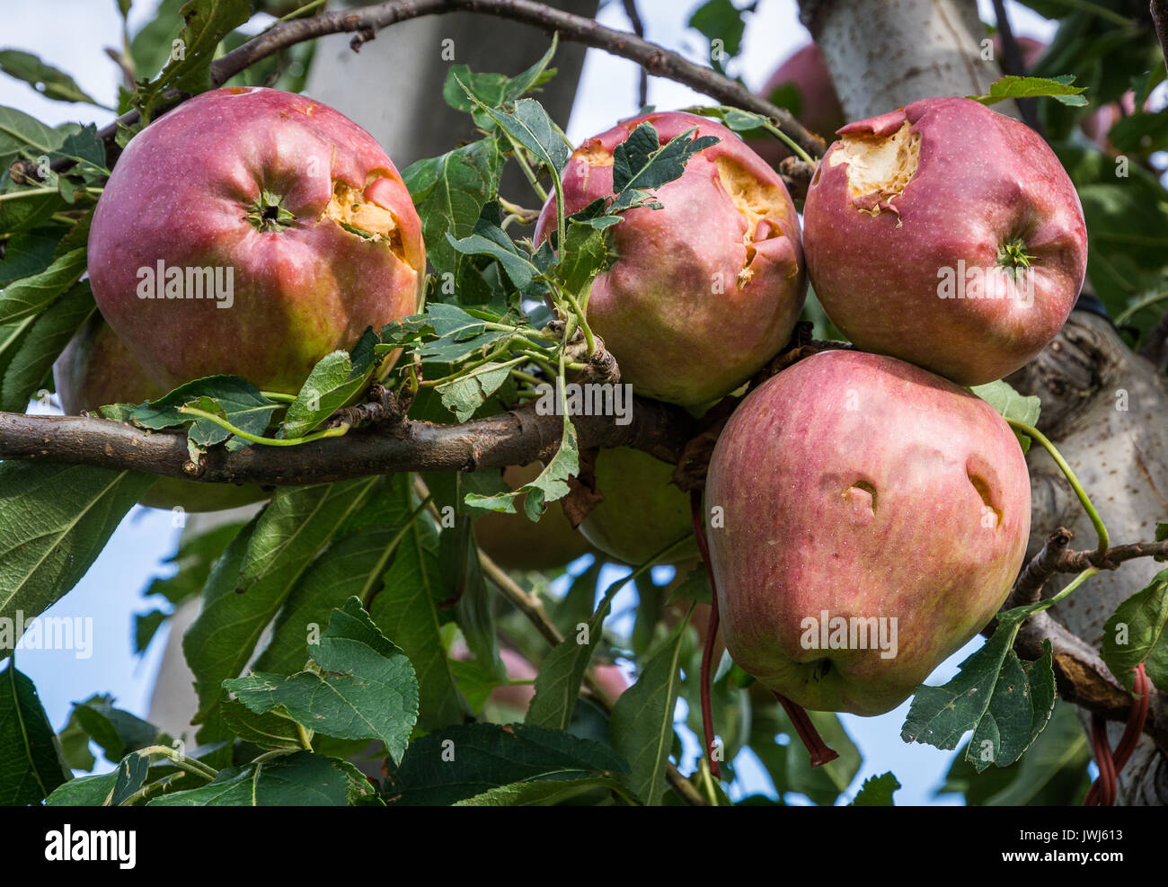 apples damaged by hail storm. the hailstorms have almost entirely wiped out harvest. - Stock Image