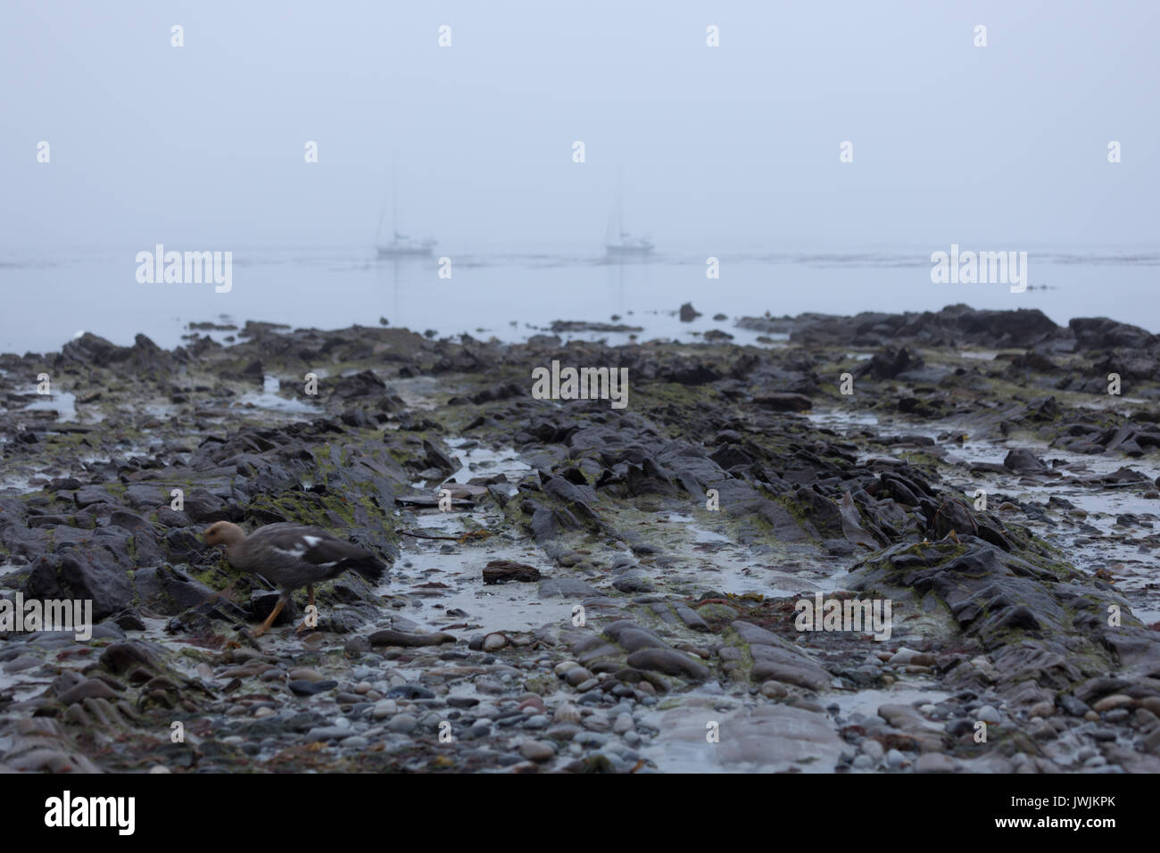 Carcass Island in the mist - Stock Image
