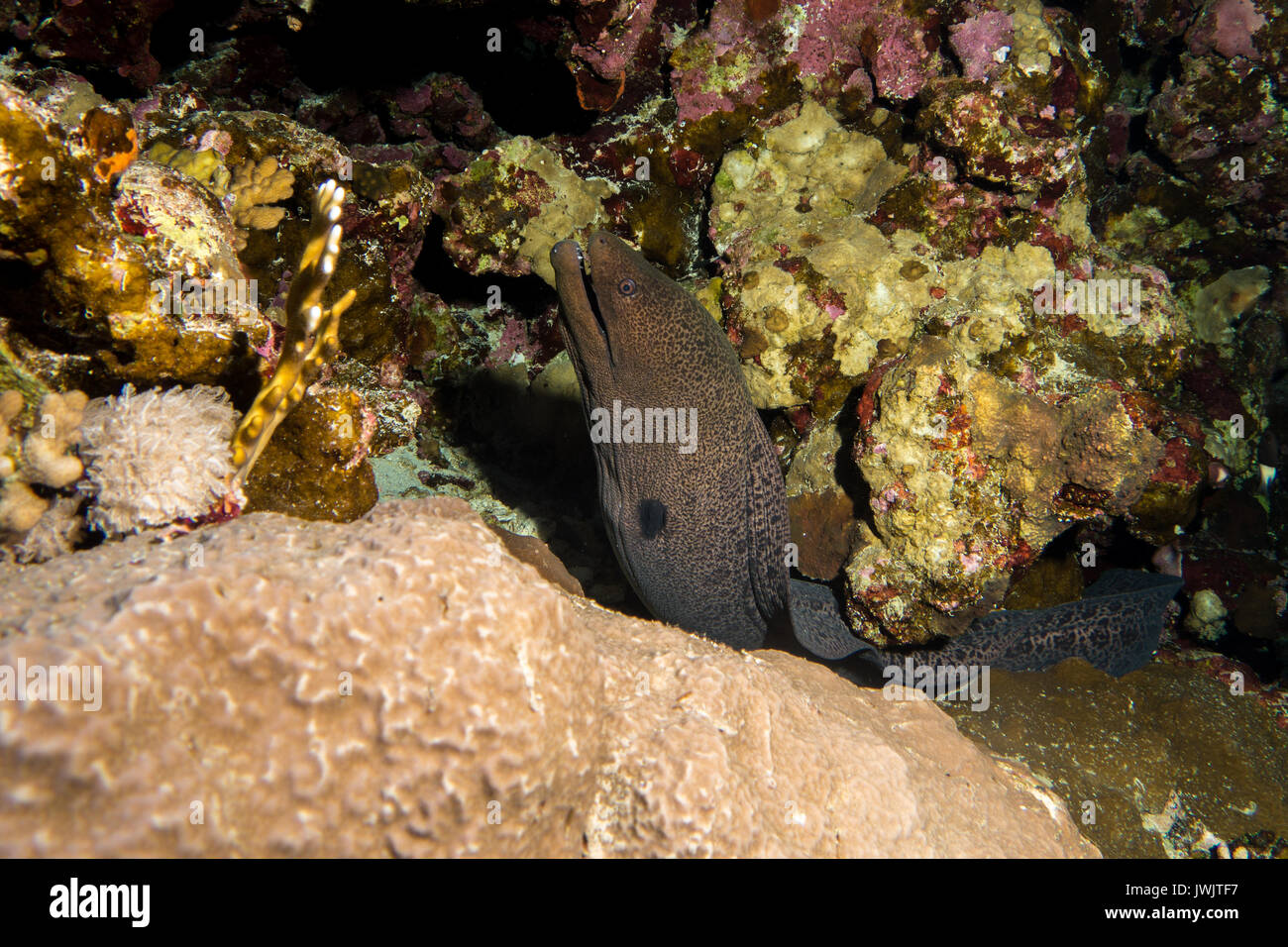 Moray Eel in the red sea in egypt - Stock Image