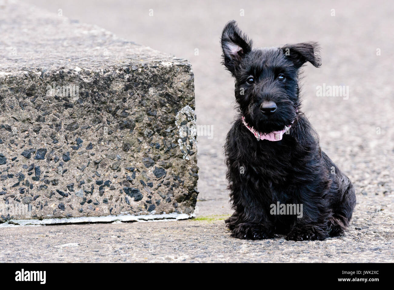 9 week old Scottish terrier puppy sitting by a concrete step - Stock Image