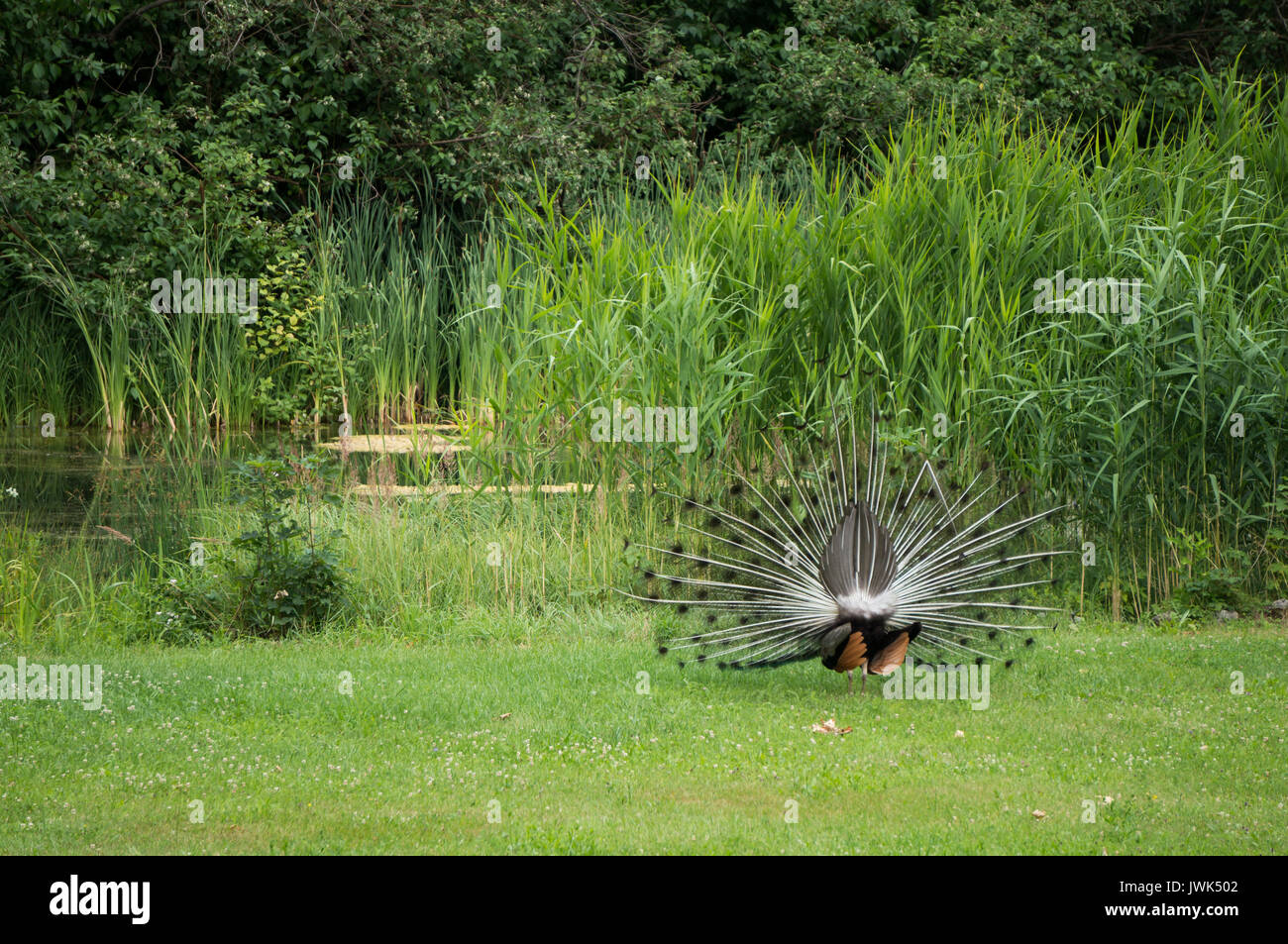 Peacock from behind - Stock Image