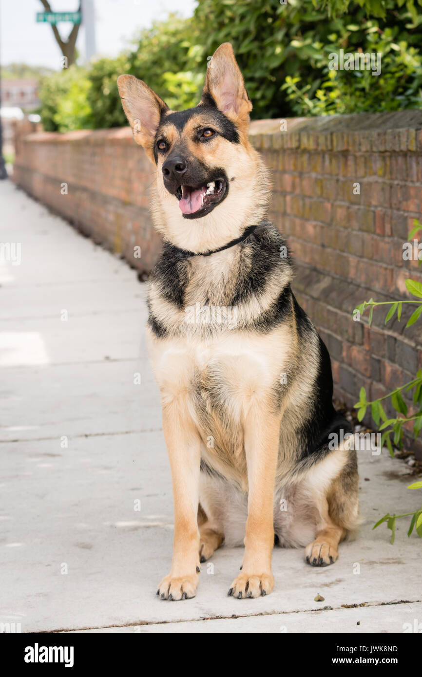 An obedient German Shepherd dog sits at attention on an urban sidewalk - Stock Image
