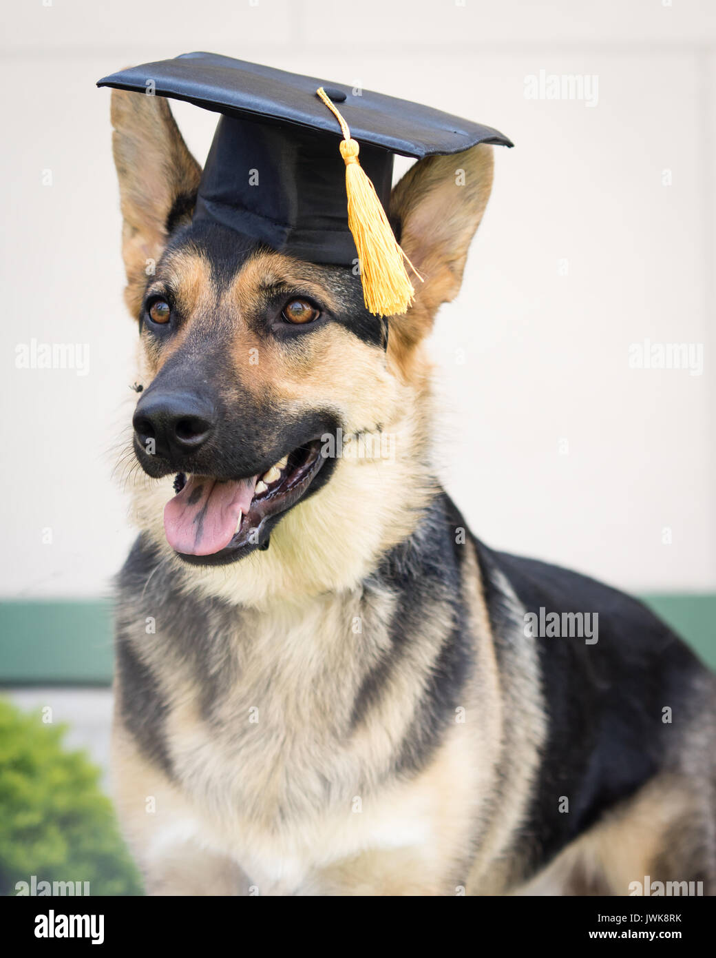 Great Graduation Cap Black Adorable Dog - a-german-shepherd-dog-wearing-a-black-graduation-cap-with-a-yellow-JWK8RK  Trends_792346  .jpg