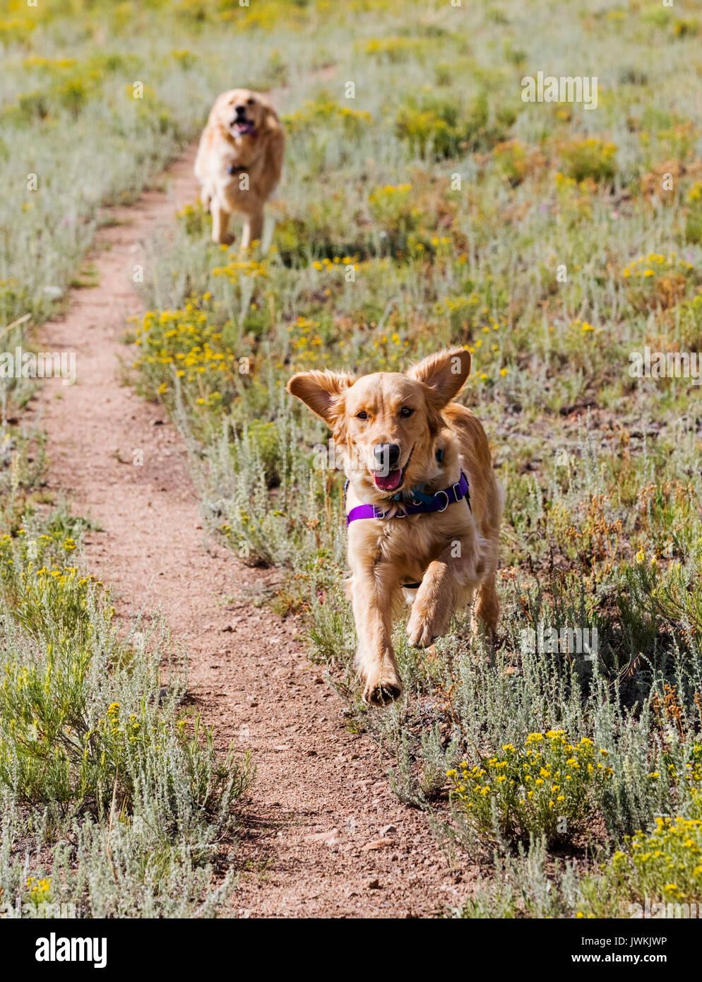 Golden Retriever dogs running in a field - Stock Image