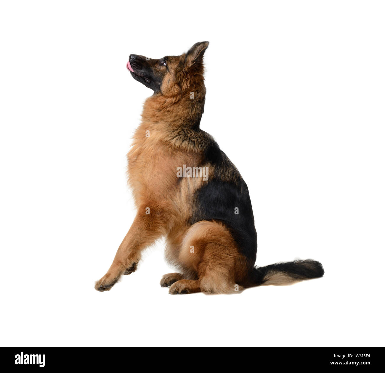 Young Fluffy German Shepherd Dog in exhibition standing against white background. Purebred dog in the rack. - Stock Image