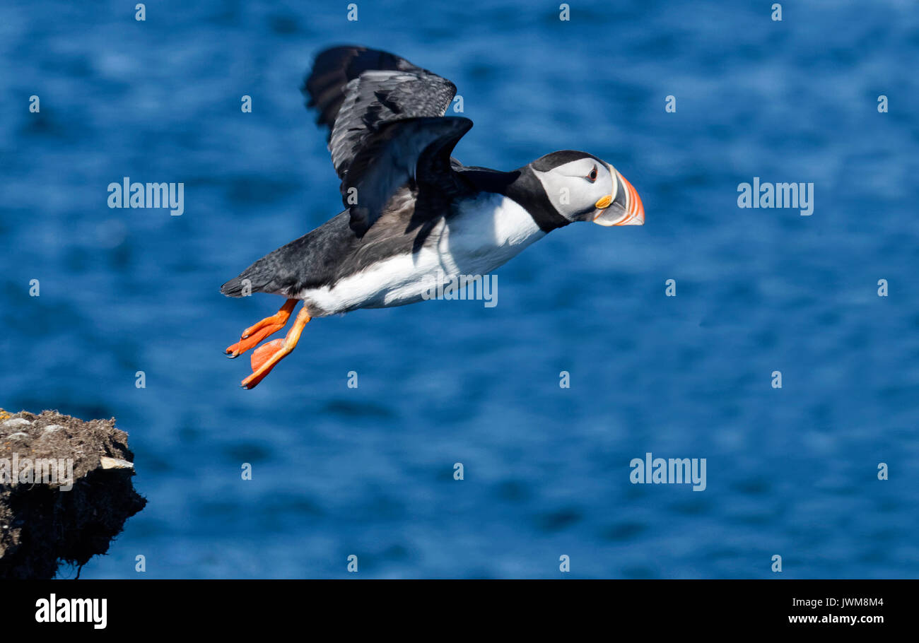 Newfoundland is one of the prime breeding grounds for Atlantic Puffin.  They are short, comical birds that live in tunnels along the cliffs. - Stock Image