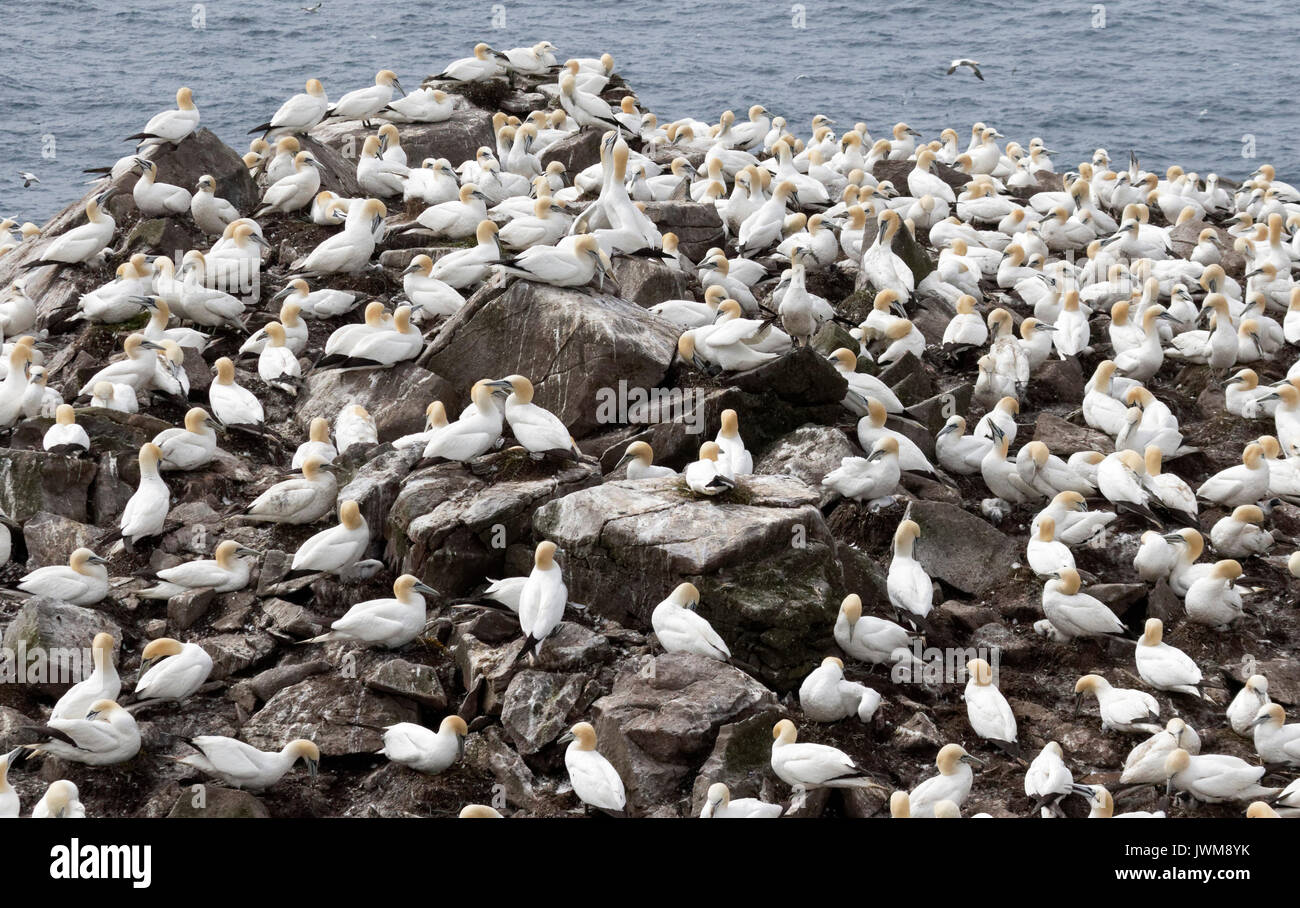 GANNETS FLY OVER OPEN OCEAN AND RARELY OVER LAND.  THEY FEED ON FISH CAPTURED IN SPECTACULAR DIVES. - Stock Image