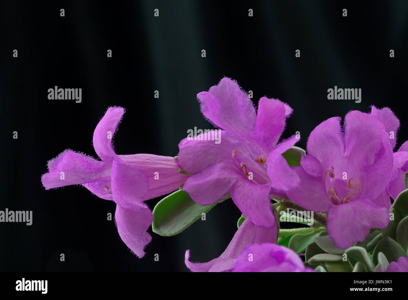 Blue Texas Ranger flowers against black satin is elegant horizontal background with copy space above - Stock Image