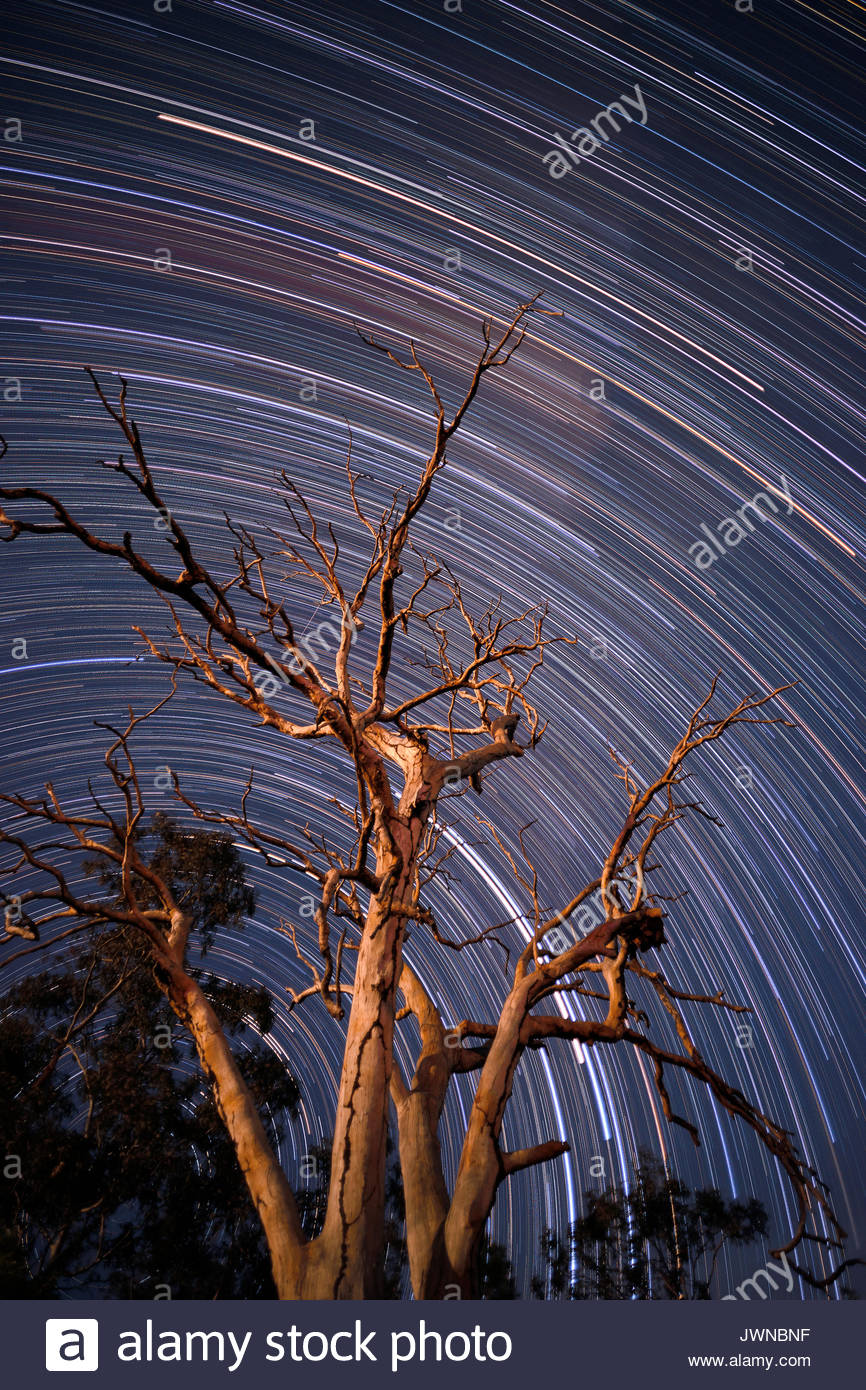 A long-exposure star-trail image - a large dead tree in the foreground, with the southern Australian sky behind; taken at Woombah, NSW, Australia. - Stock Image