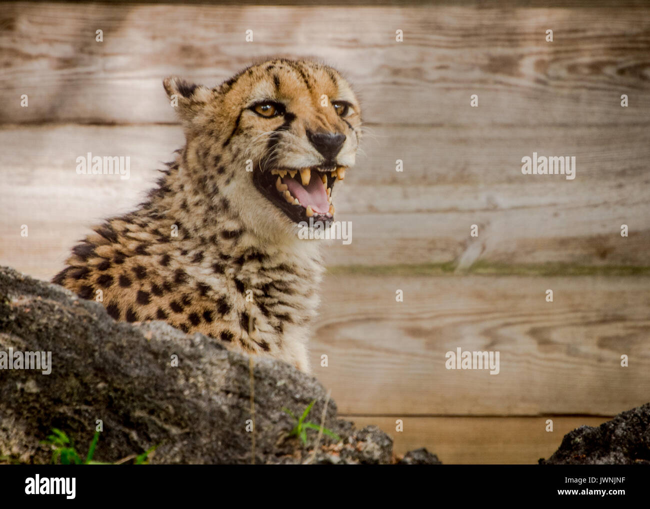 Cheetah in captivity in a zoo exhibit snarling at the camera from behind a rock against a wood board background - Stock Image