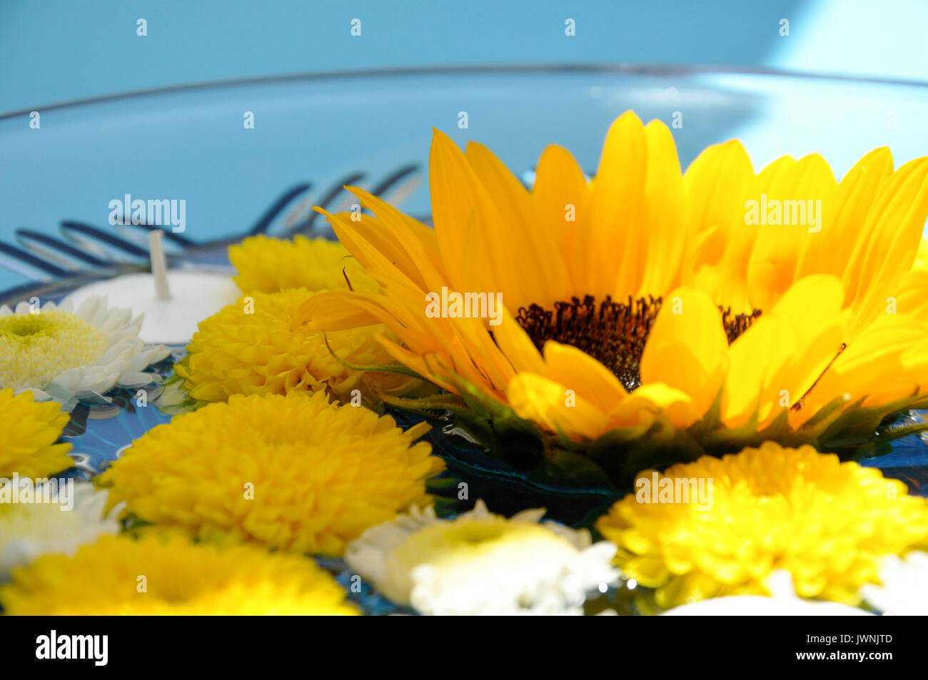 Tranquil Close Up of Sunny Yellow Sunflower Floating in Small Bowl of Water with Unlit Tealight Candle and Yellow and White Blossoms - Stock Image