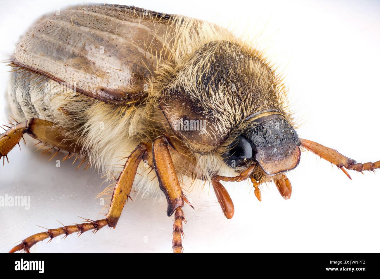 Bug Cockchafer isolated on white background macro photography Stock Photo