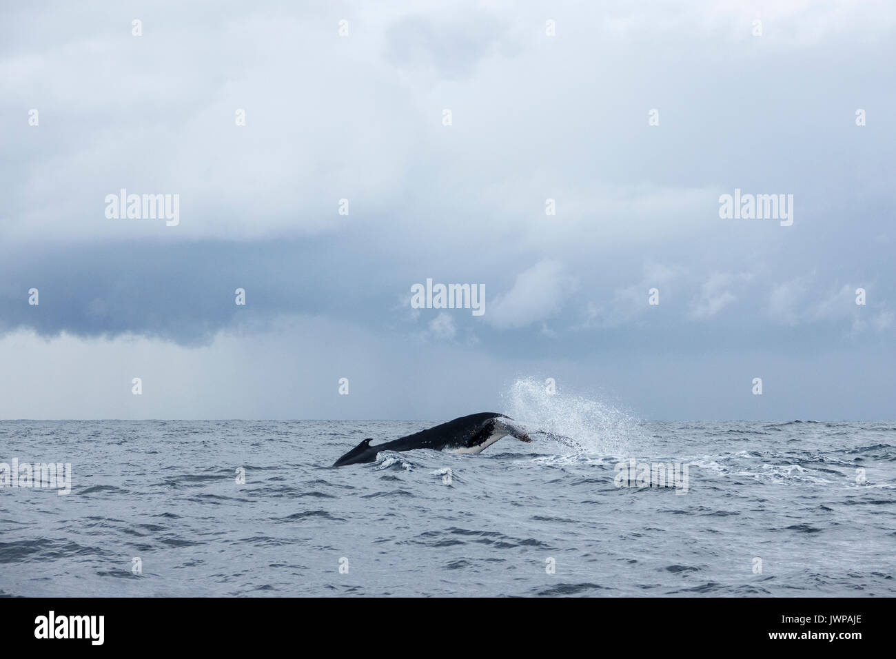 Diving Humpback whale on winter migratory route off Sydney Heads Australia - Stock Image
