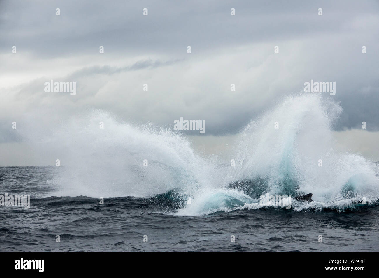 Breaching Humpback whale on winter migratory route off Sydney Heads Australia - Stock Image