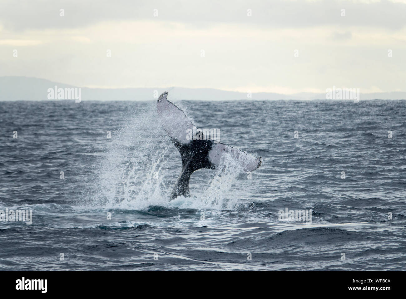Tail slapping Humpback whale on winter migratory route off Sydney Heads Australia - Stock Image