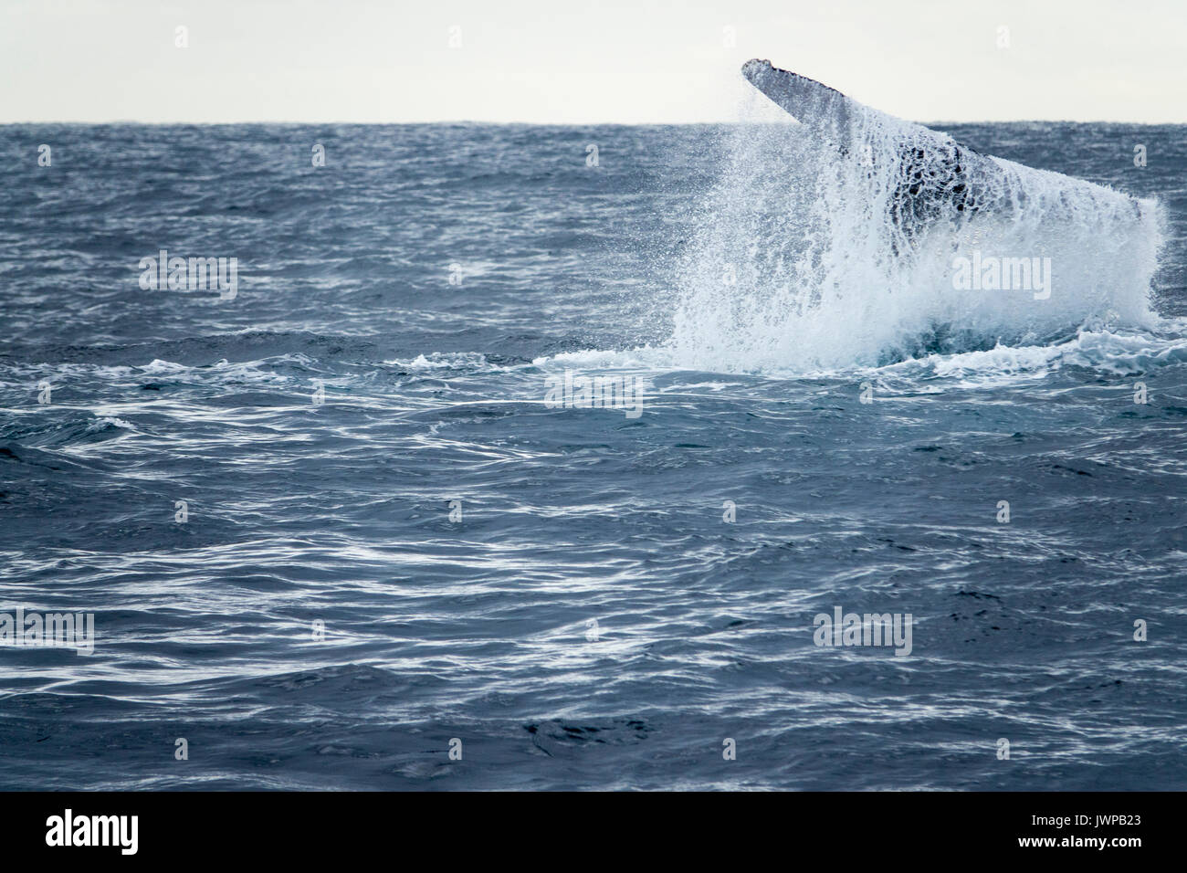 Breaching Humpback whale on winter migratory route off Sydney Heads Australia Stock Photo