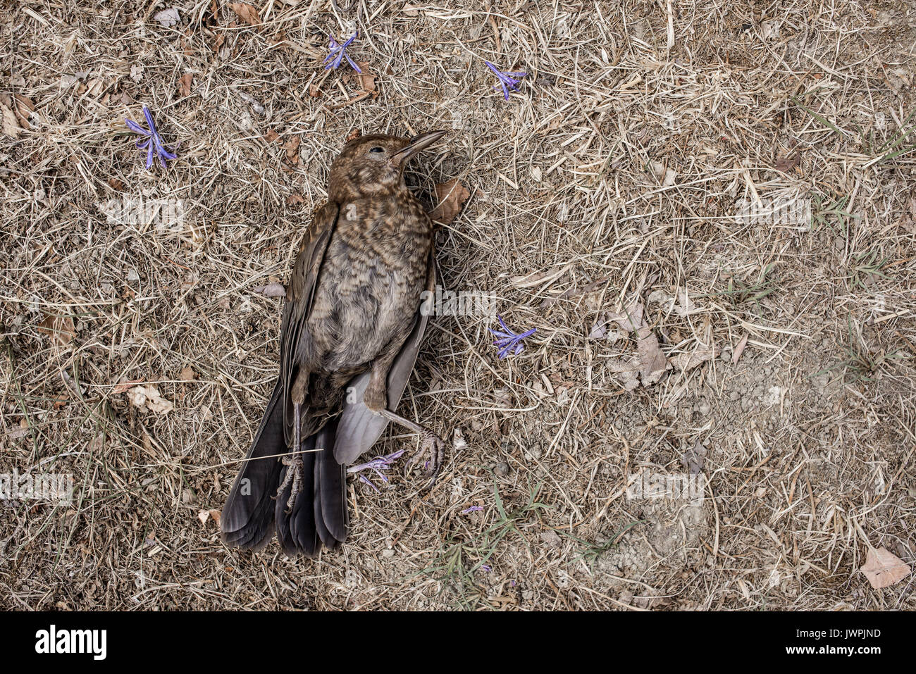 Young common blackbird (Turdus merula) dead on a background of dried grass and violet flowers - Stock Image