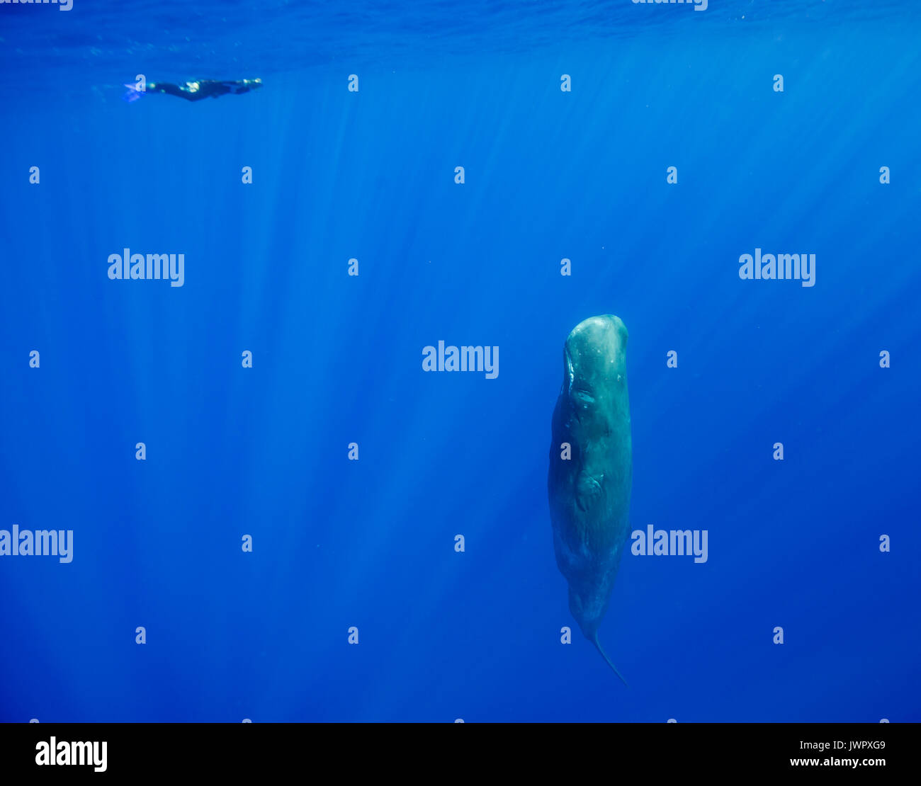 Sperm whale sleeping vertically as a diver swims past, north western Mauritius. - Stock Image
