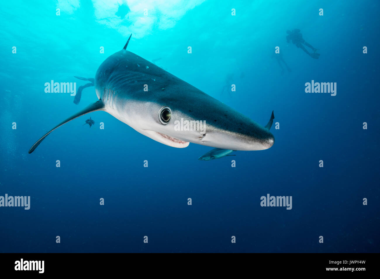 Underwater view of a blue shark and pilot fish, image was taken about 50 kilometres offshore past Western Cape, South Africa. - Stock Image