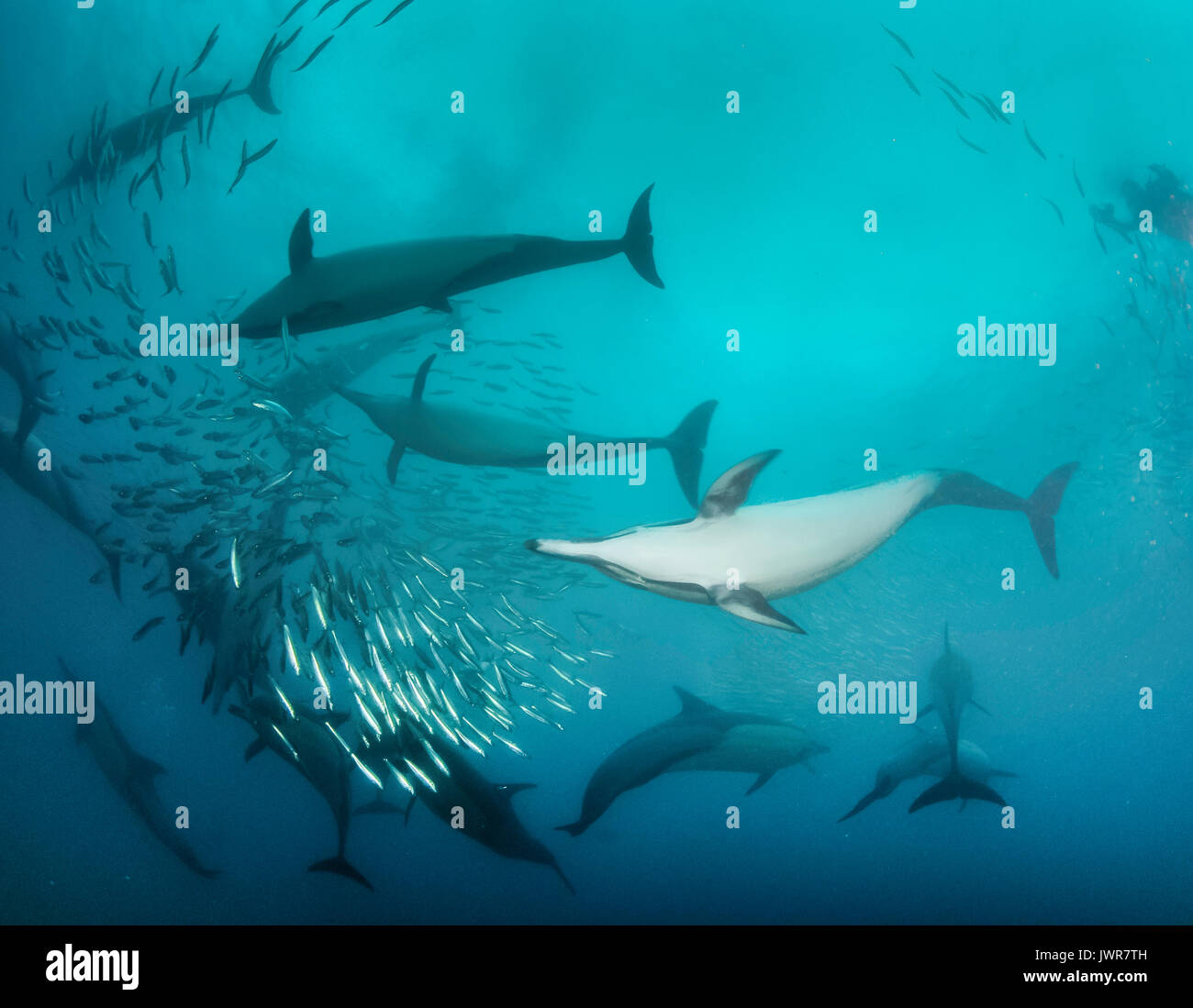 Pod of common dolphins feeding on sardines during the annual sardine run off the east coast of South Africa. - Stock Image